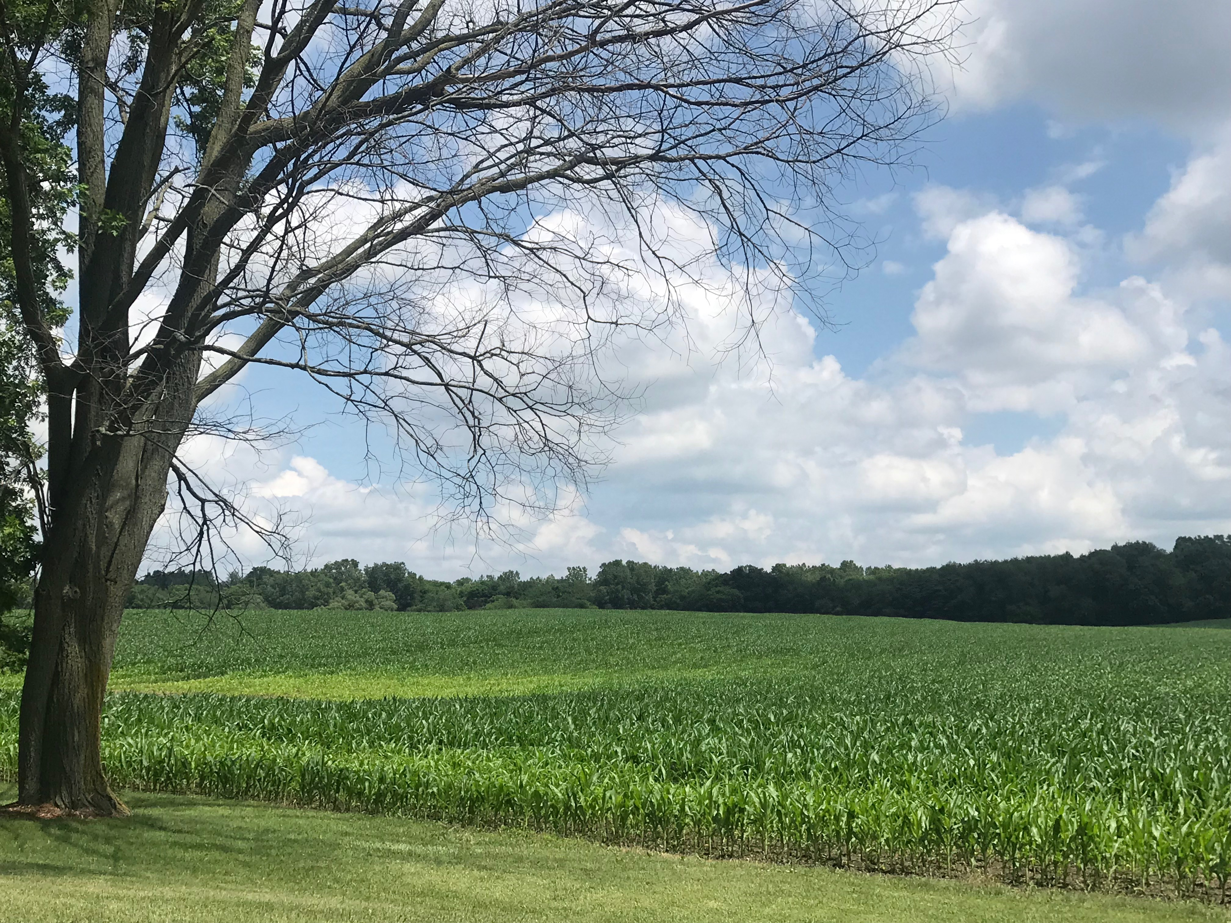 Most Michigan corn isn't knee-high by the Fourth of July, and it could lead to higher grocery prices