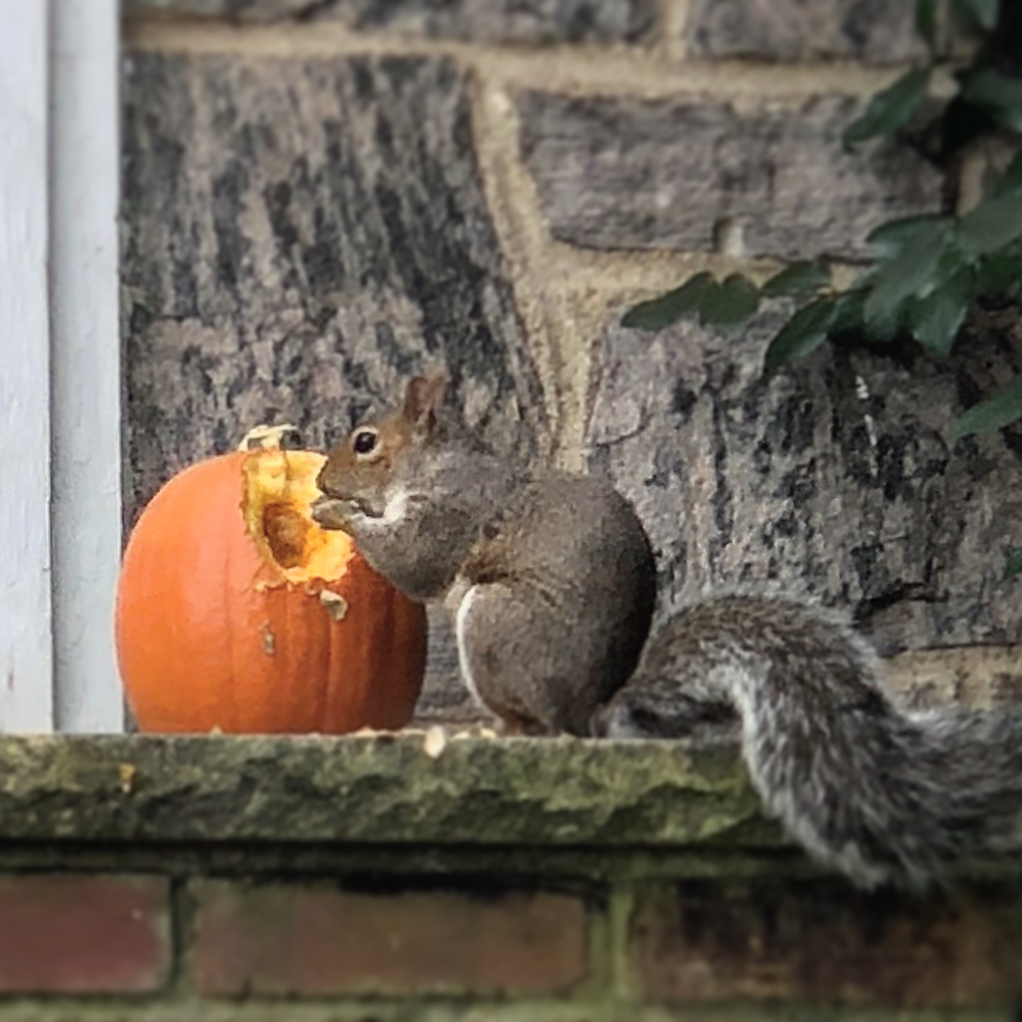 This squirrel was seen making his lunch out of the pumpkin sitting quietly on the front porch in West Brighton. (Staten Island Advance/ Jan Somma-Hammel)