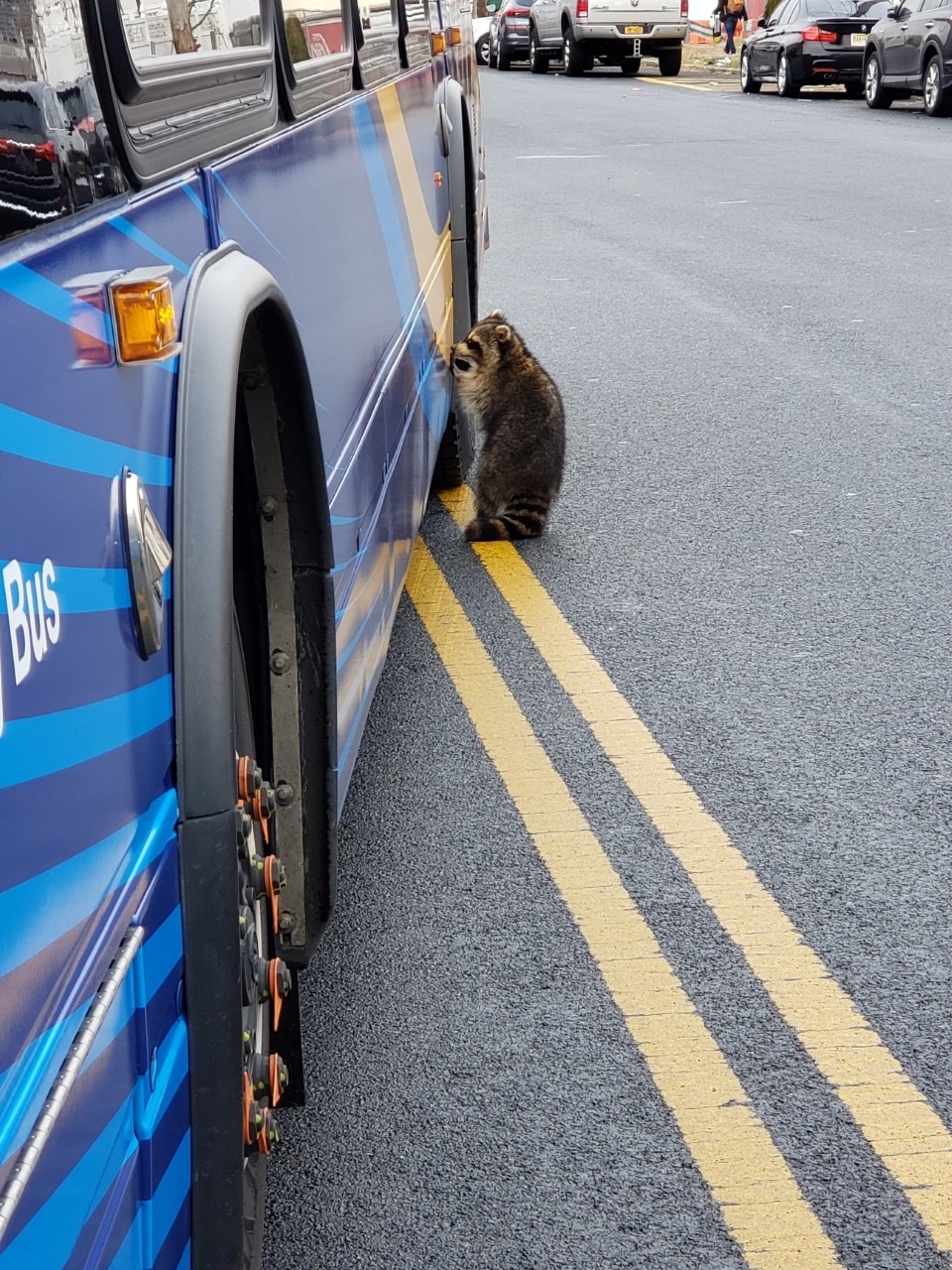 """""""Rocky"""" the Raccoon tries to board local bus"""