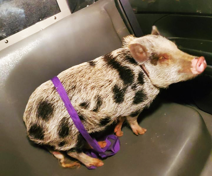 Pa. cops corral 'suspicious' swine and seek owners