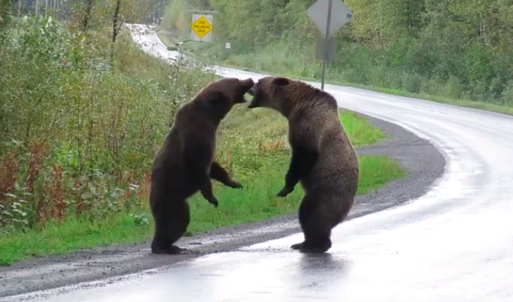Video of Canadian grizzly bears fighting on a highway goes viral