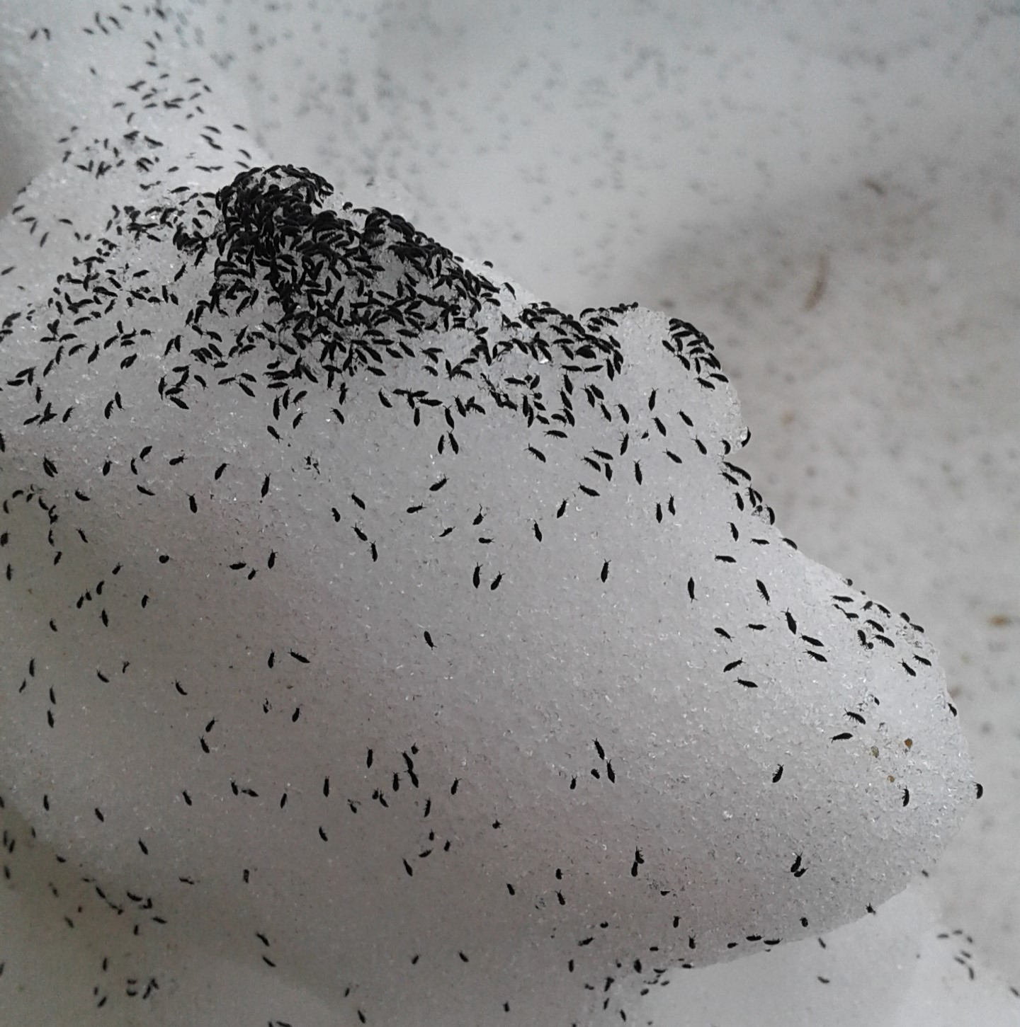 Millions Of Tiny Bugs Cover Snow In Central Ny What The Heck Are