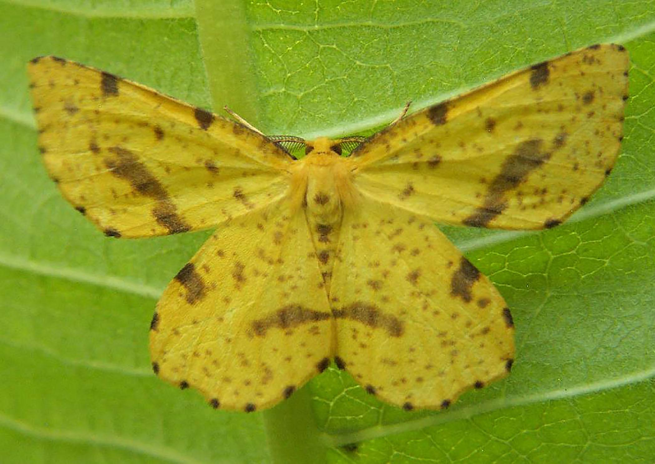 False crocus geometer moth