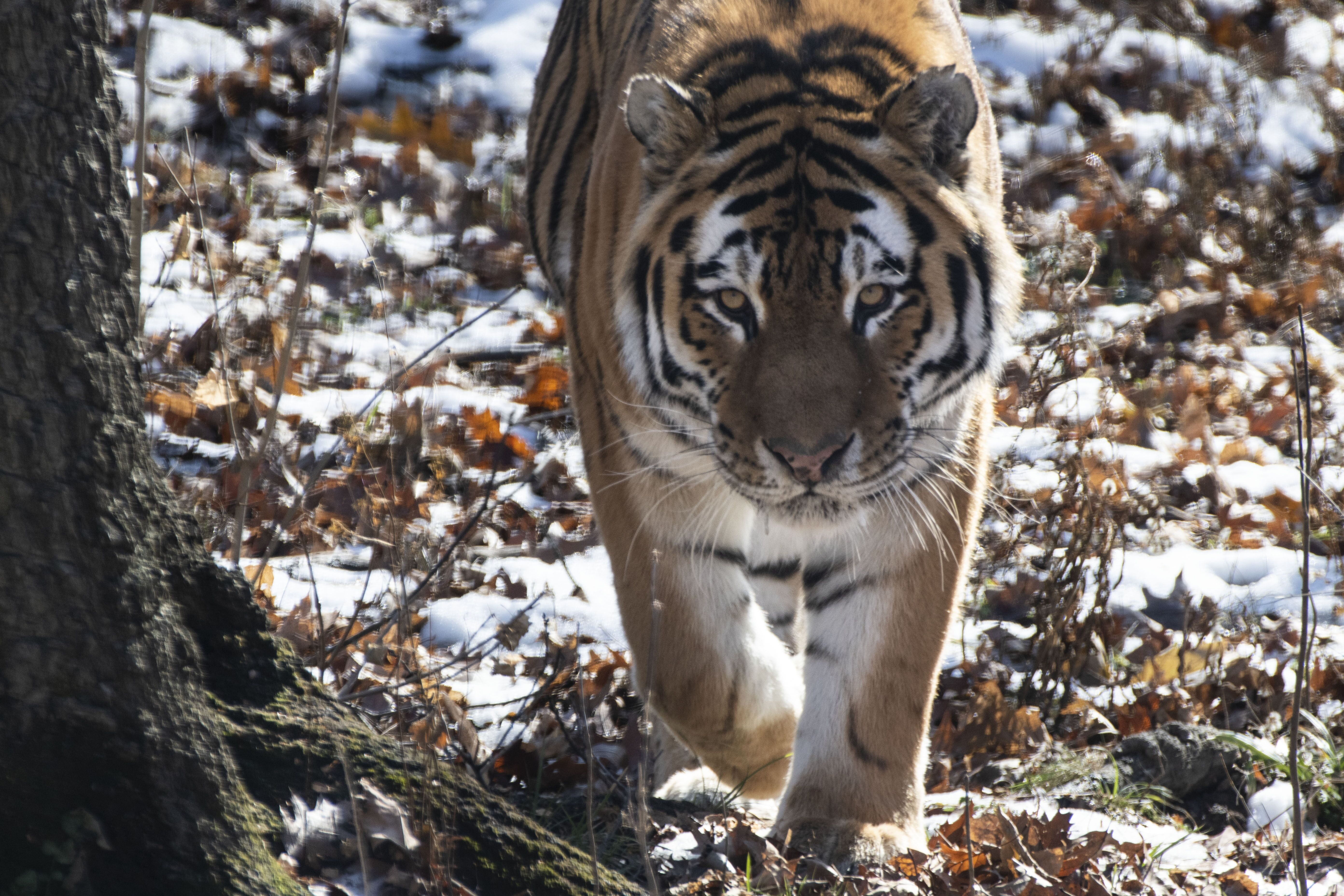Tigers return to the Syracuse zoo with new December arrival - syracuse.com