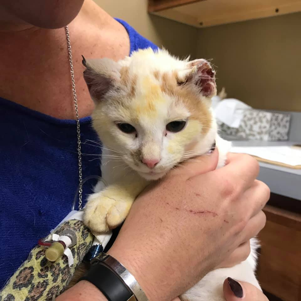 Cat survives burning oven, suffers critical breathing issues