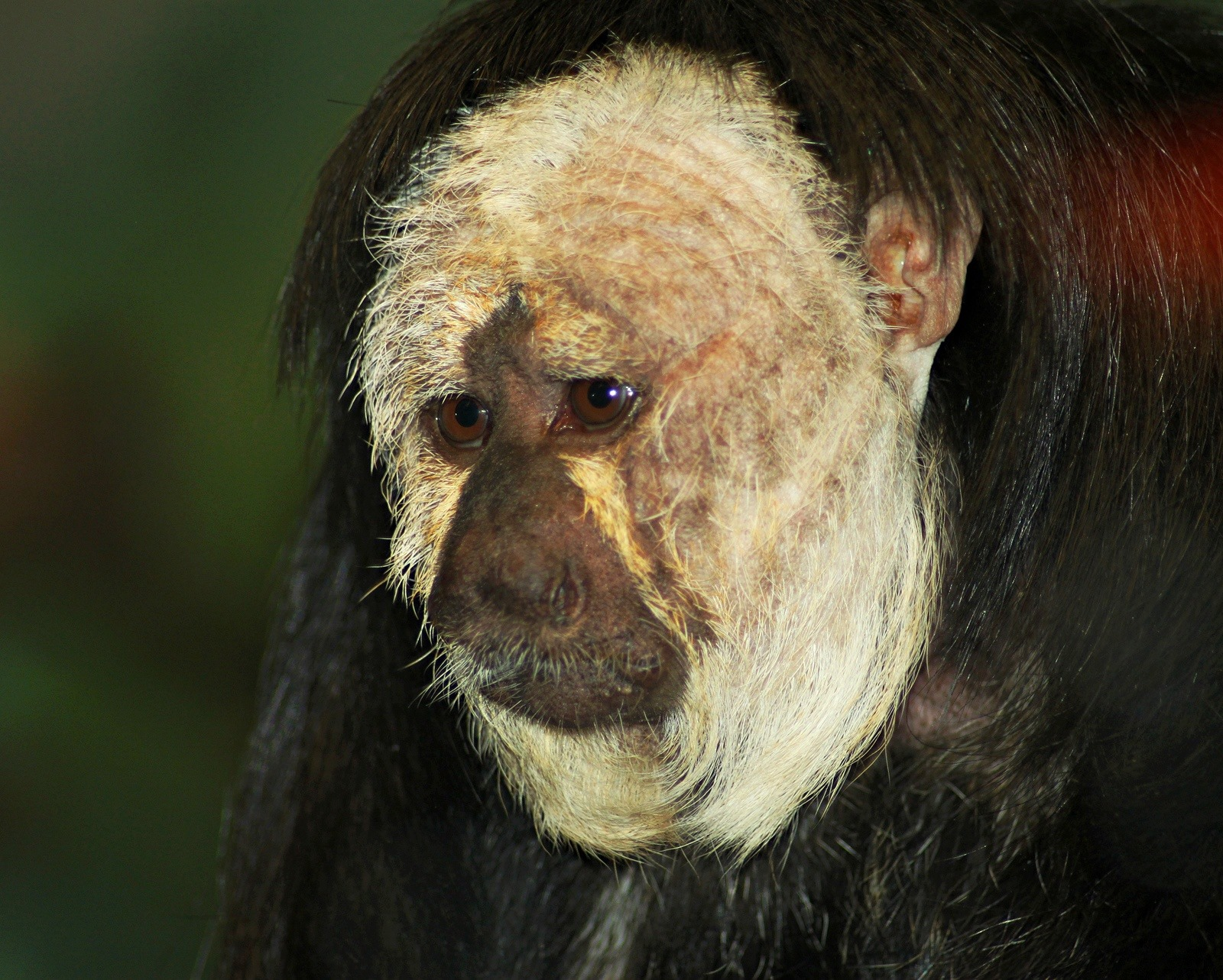John Ball Zoo mourning death of monkey who was 'wonderful ambassador for his species'