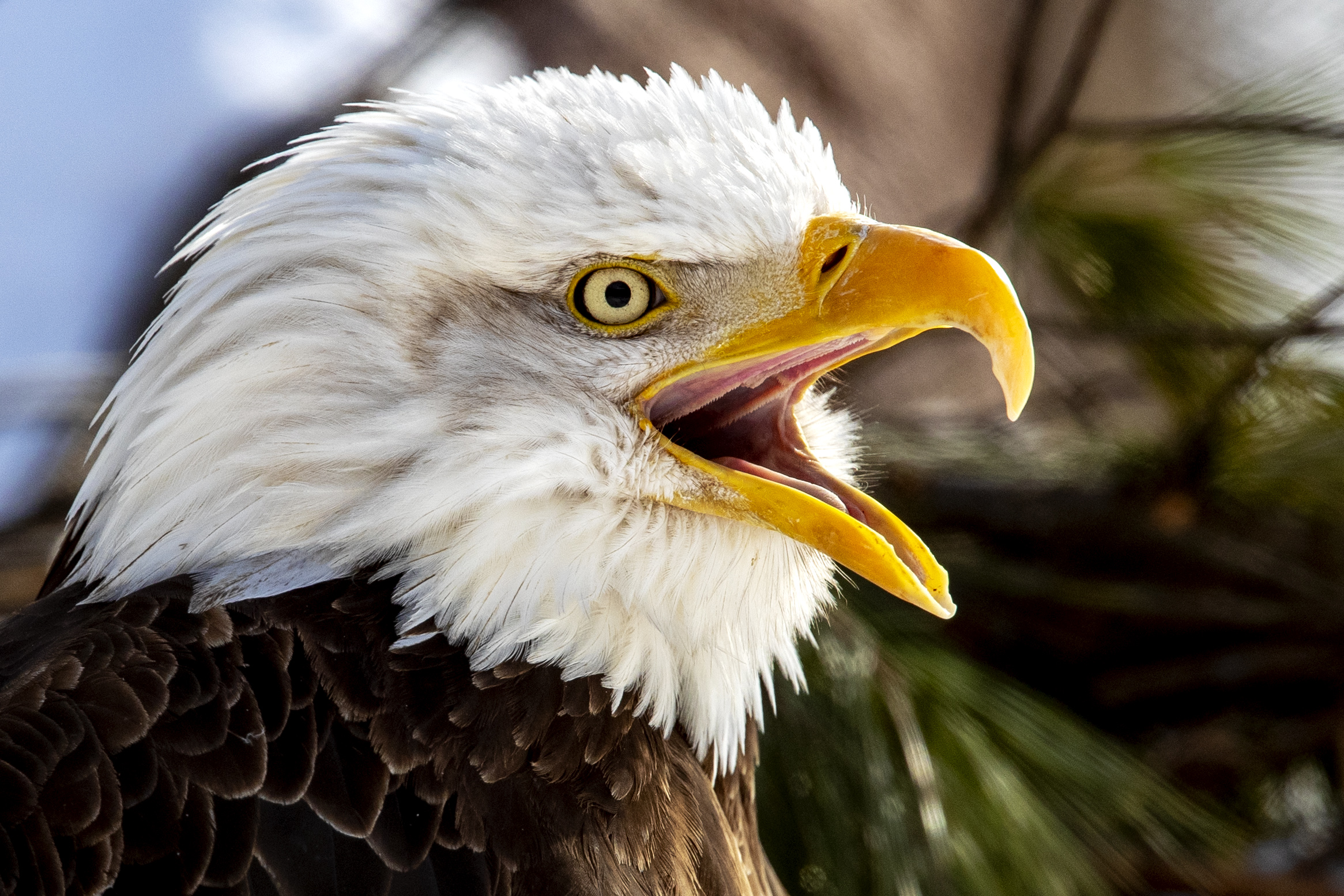 Bald eagle dies after hunter mistakes it for goose