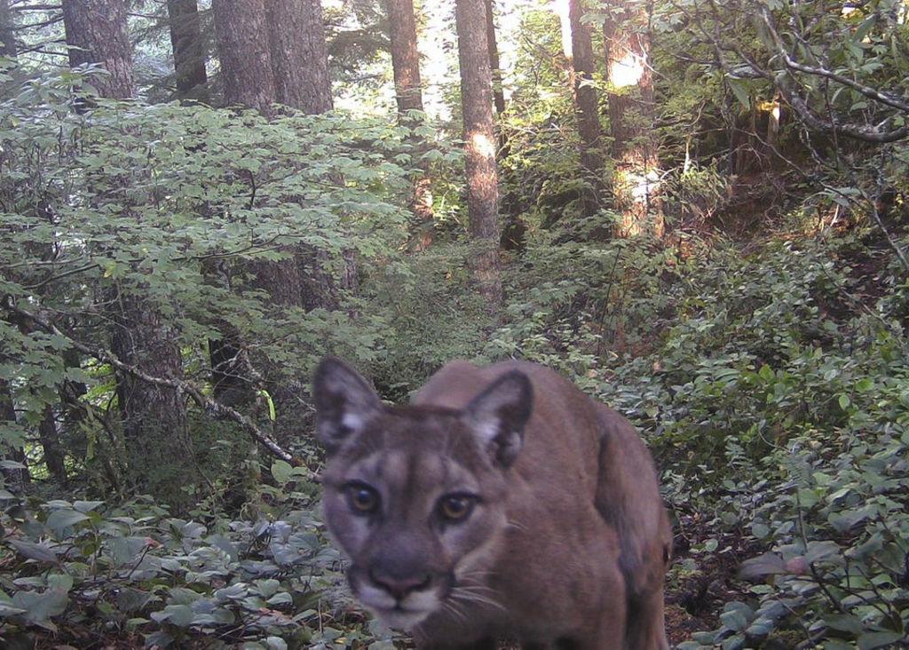 Oregon cougar encounter renews debate about threats from animal