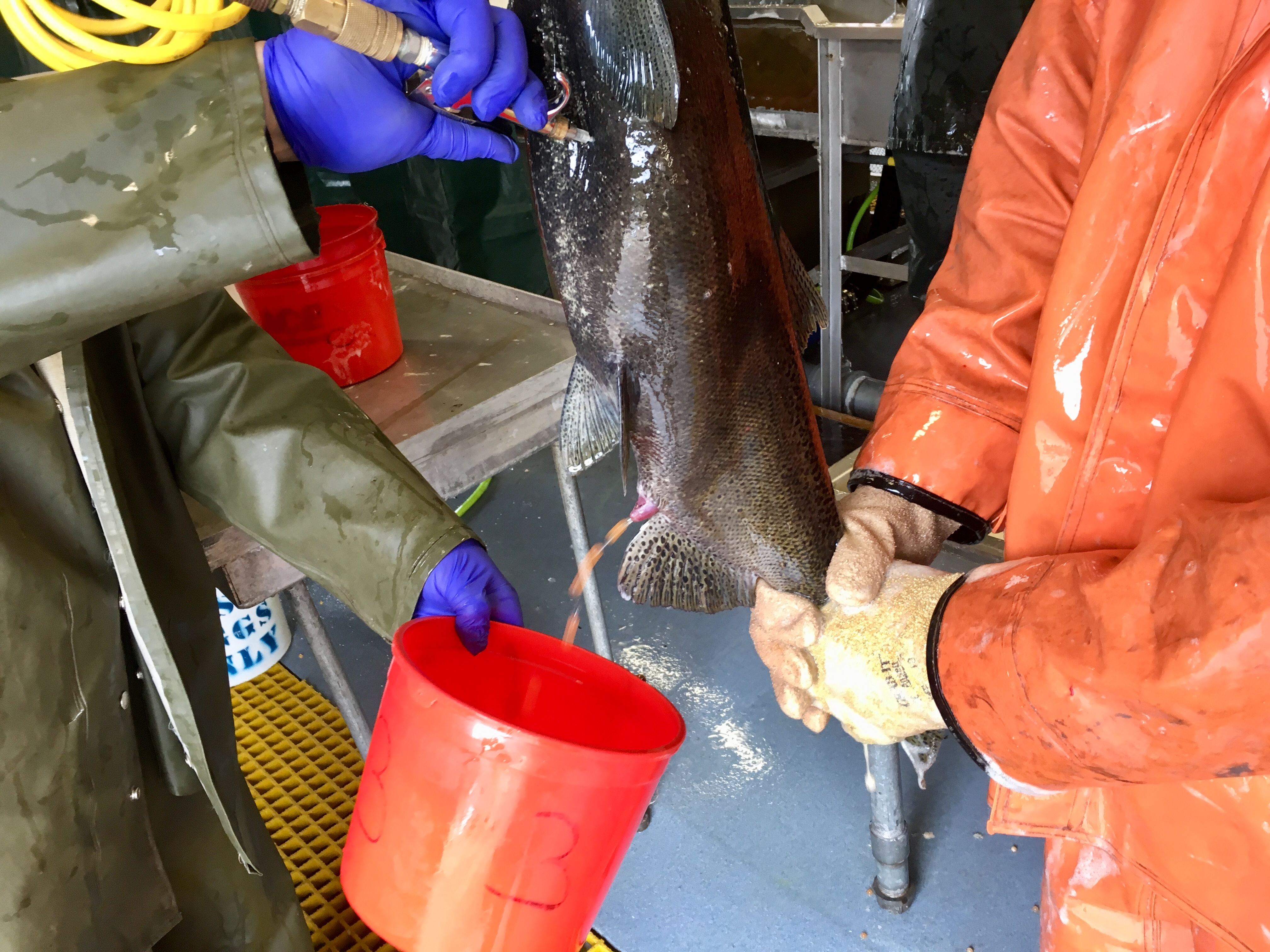 Nearly 4M chinook salmon eggs to be harvested to restock Great Lakes fisheries