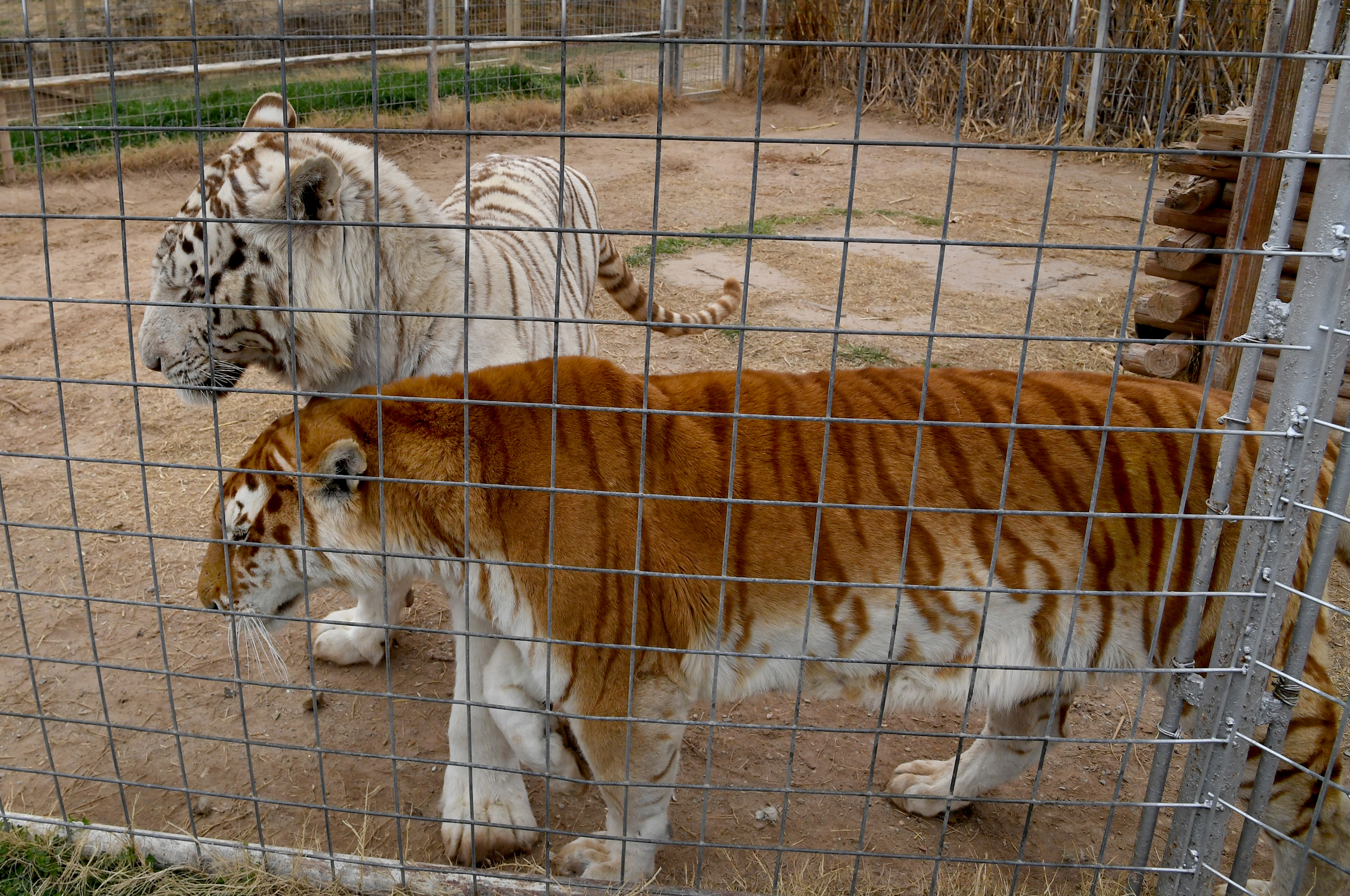 The trouble with tigers in America - oregonlive com