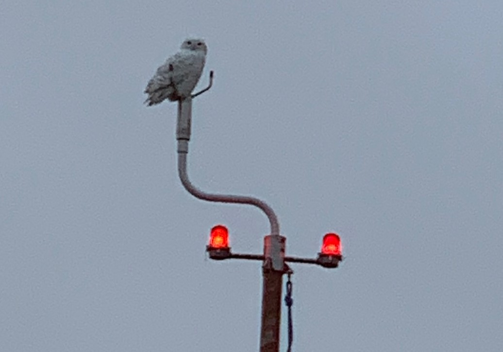 Snowy owl visits National Weather Service in Grand Rapids