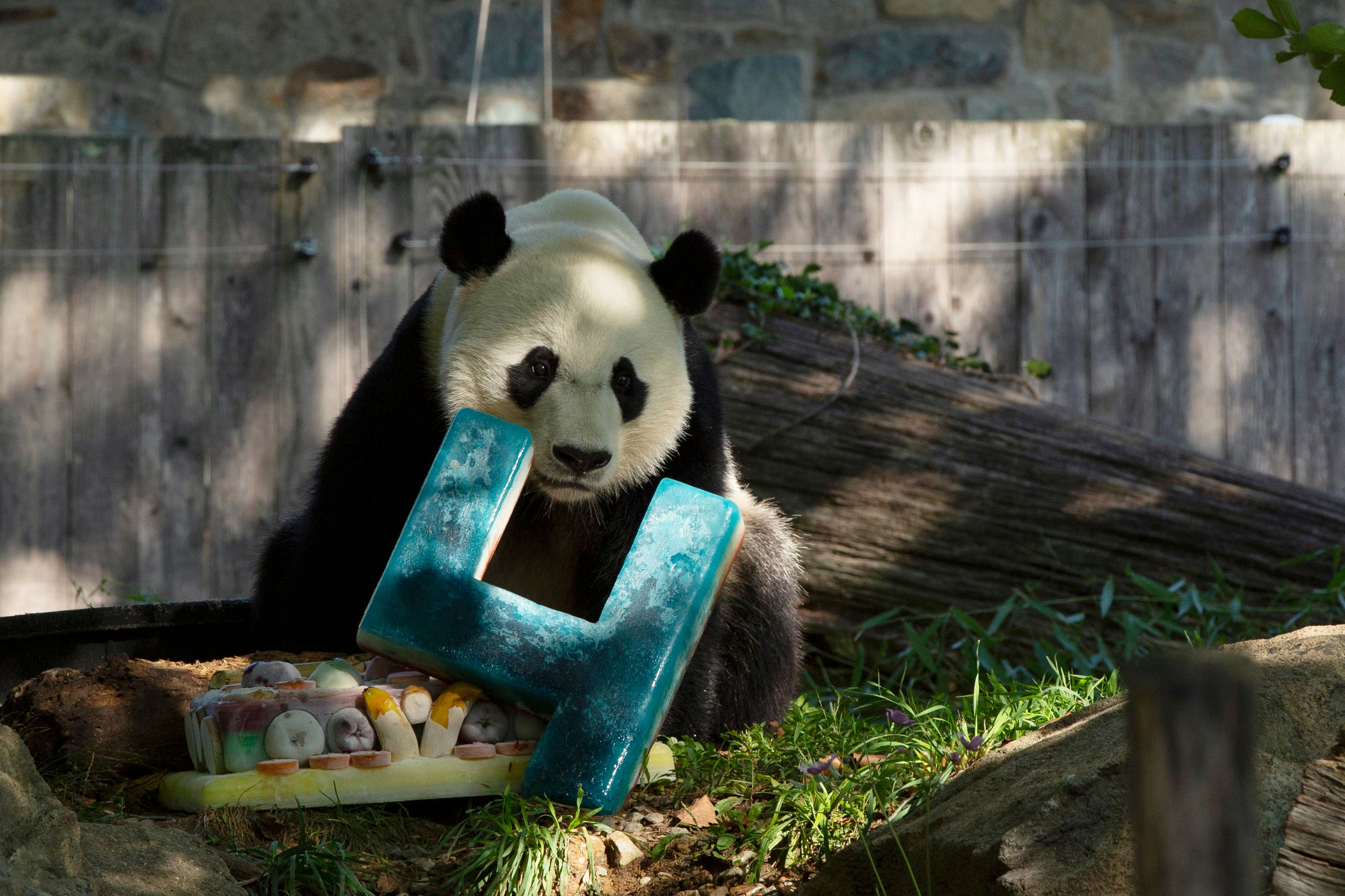 Giant panda Bei Bei will have to say goodbye to U.S. next month