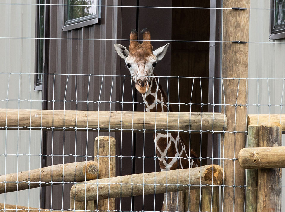 Some animals love snow, others, like giraffes, stay indoors: Lake Tobias