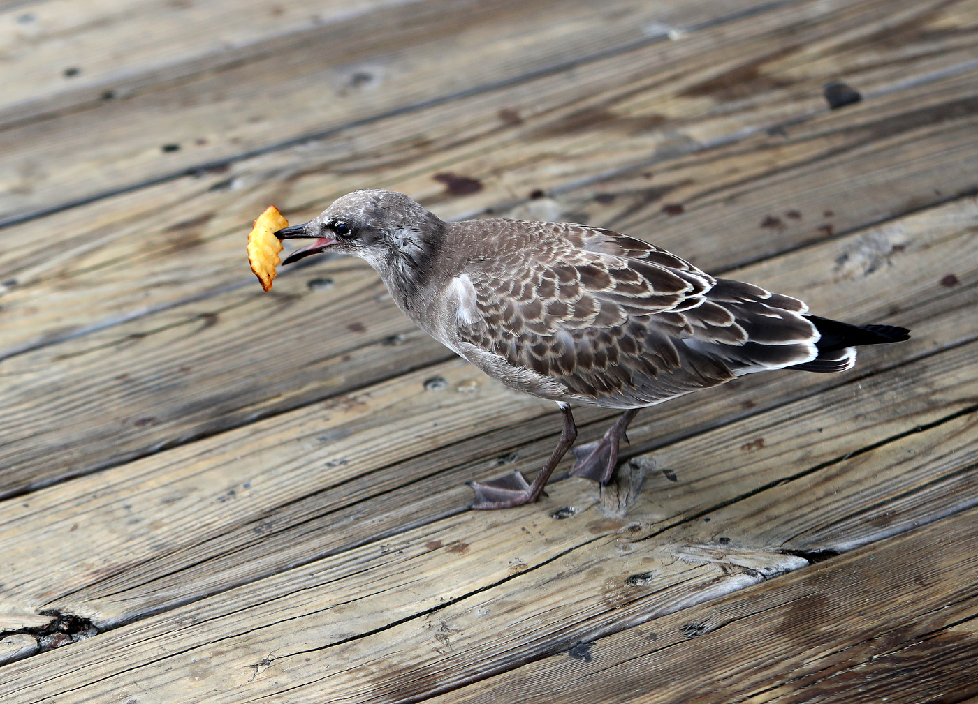 A Shore town declared war on seagulls. We bought French fries to see who is winning.