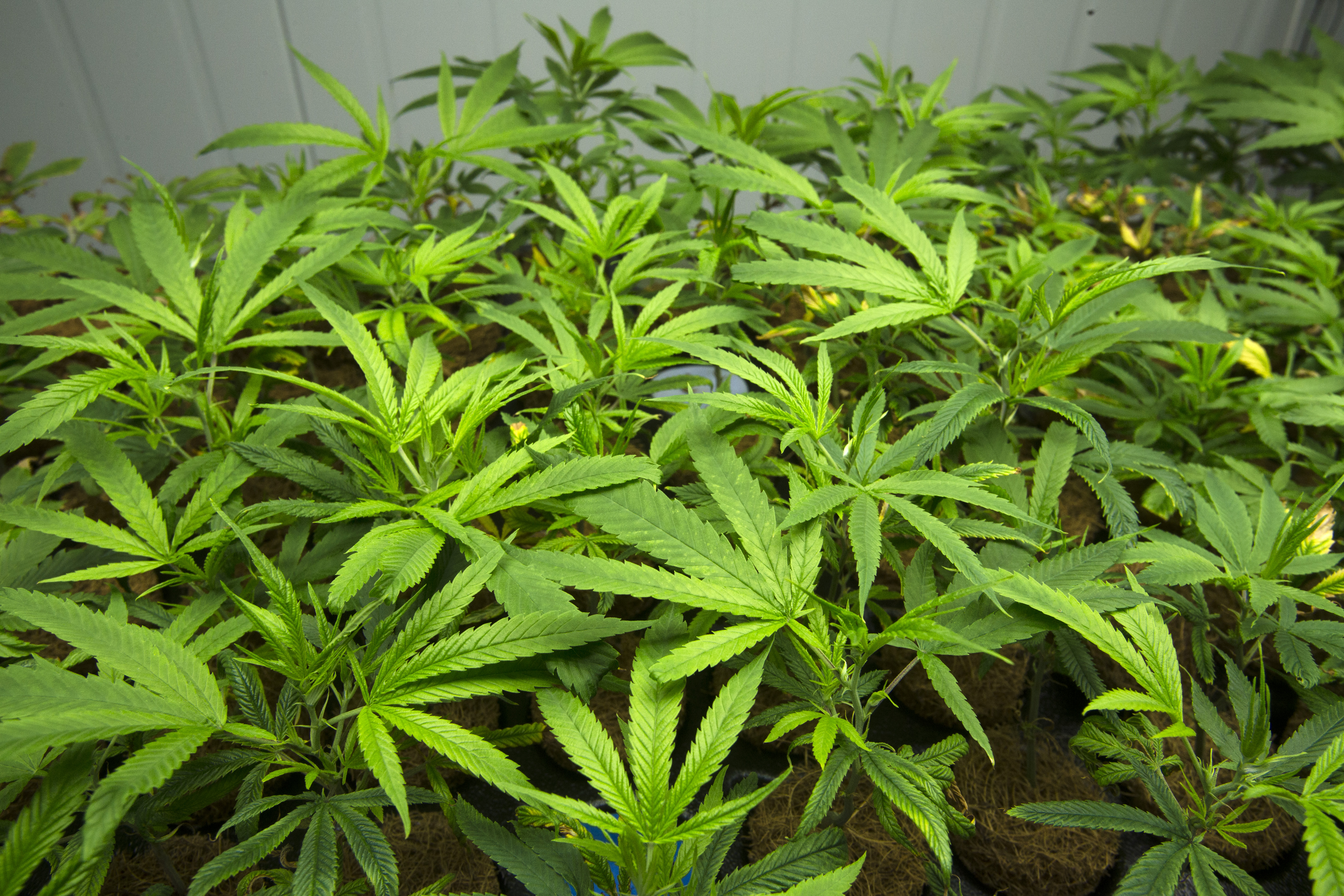 N.J. weed vote still likely by year-end, sources say. But there are 2 options on the question.
