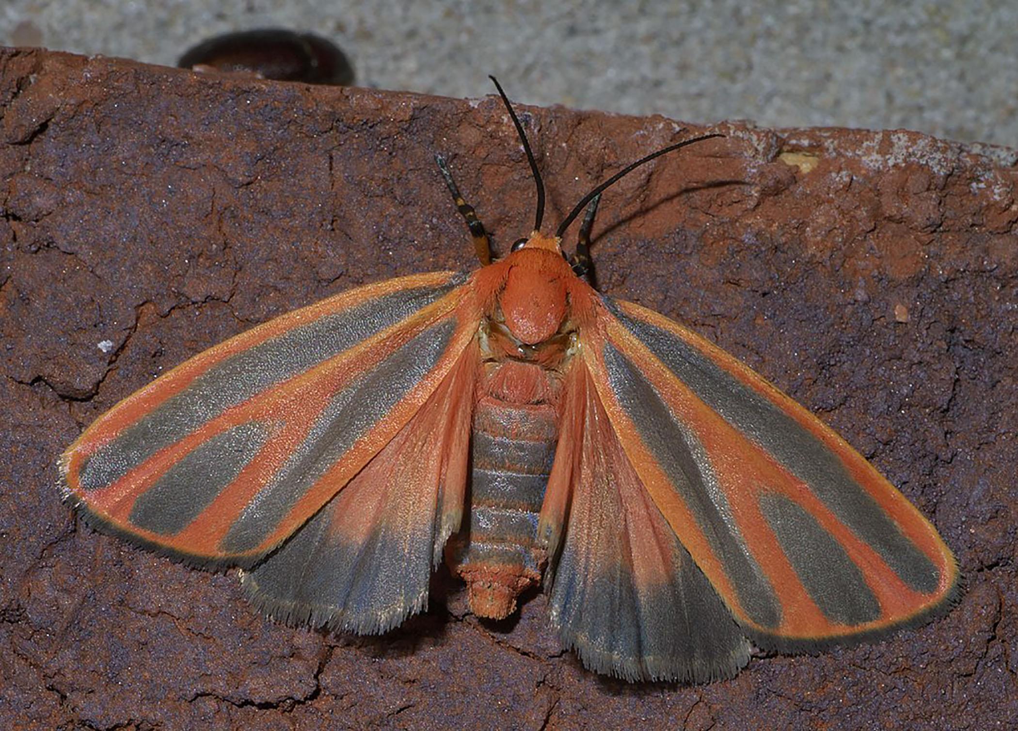 Scarlet-winged lichen moth