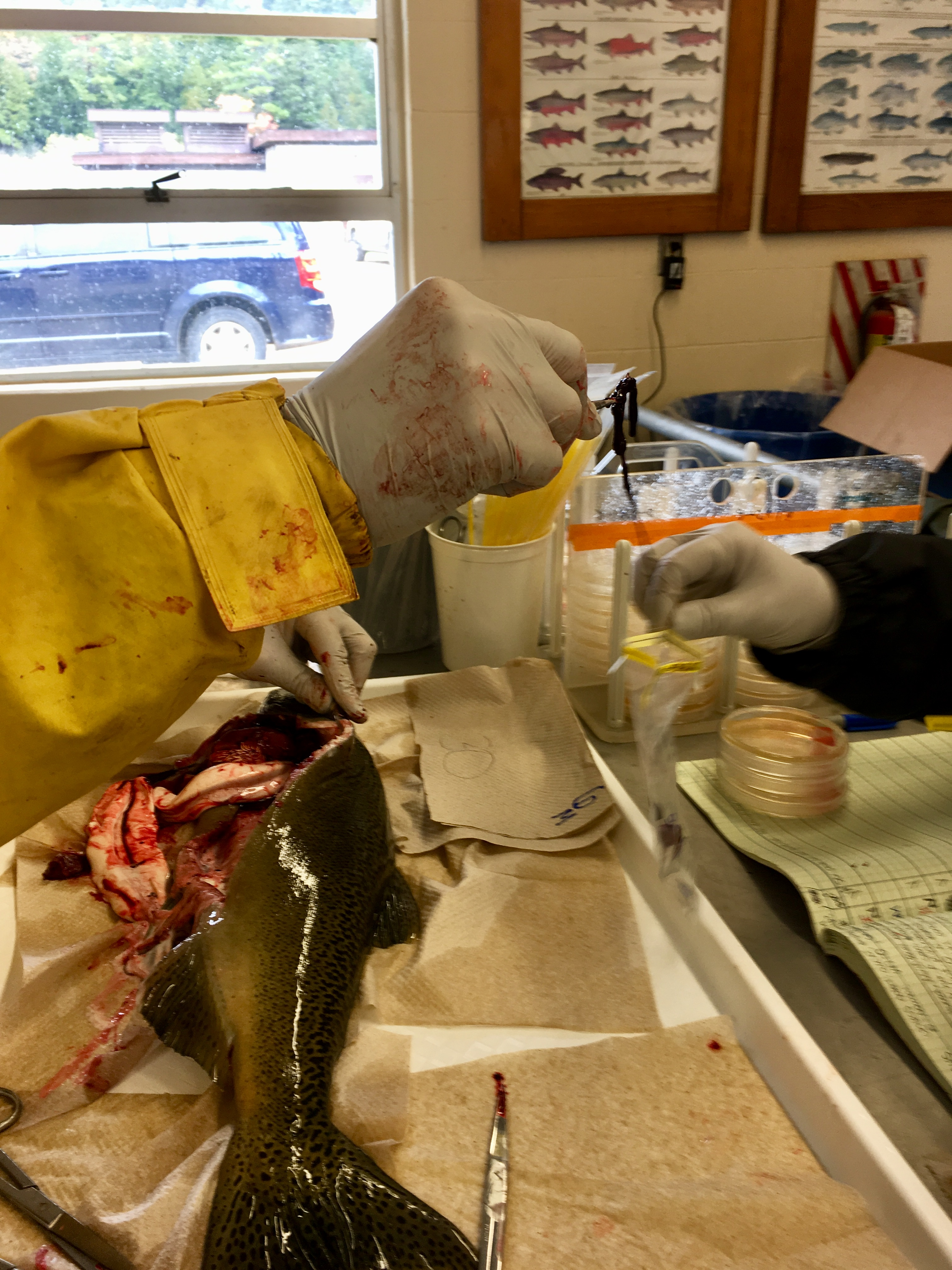 What fall salmon necropsies tell DNR about Michigan's fish health