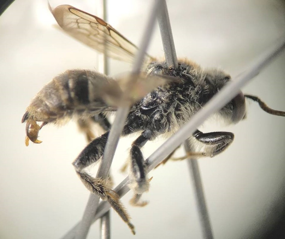 Rare bee species discovered in national forest near Great Lakes