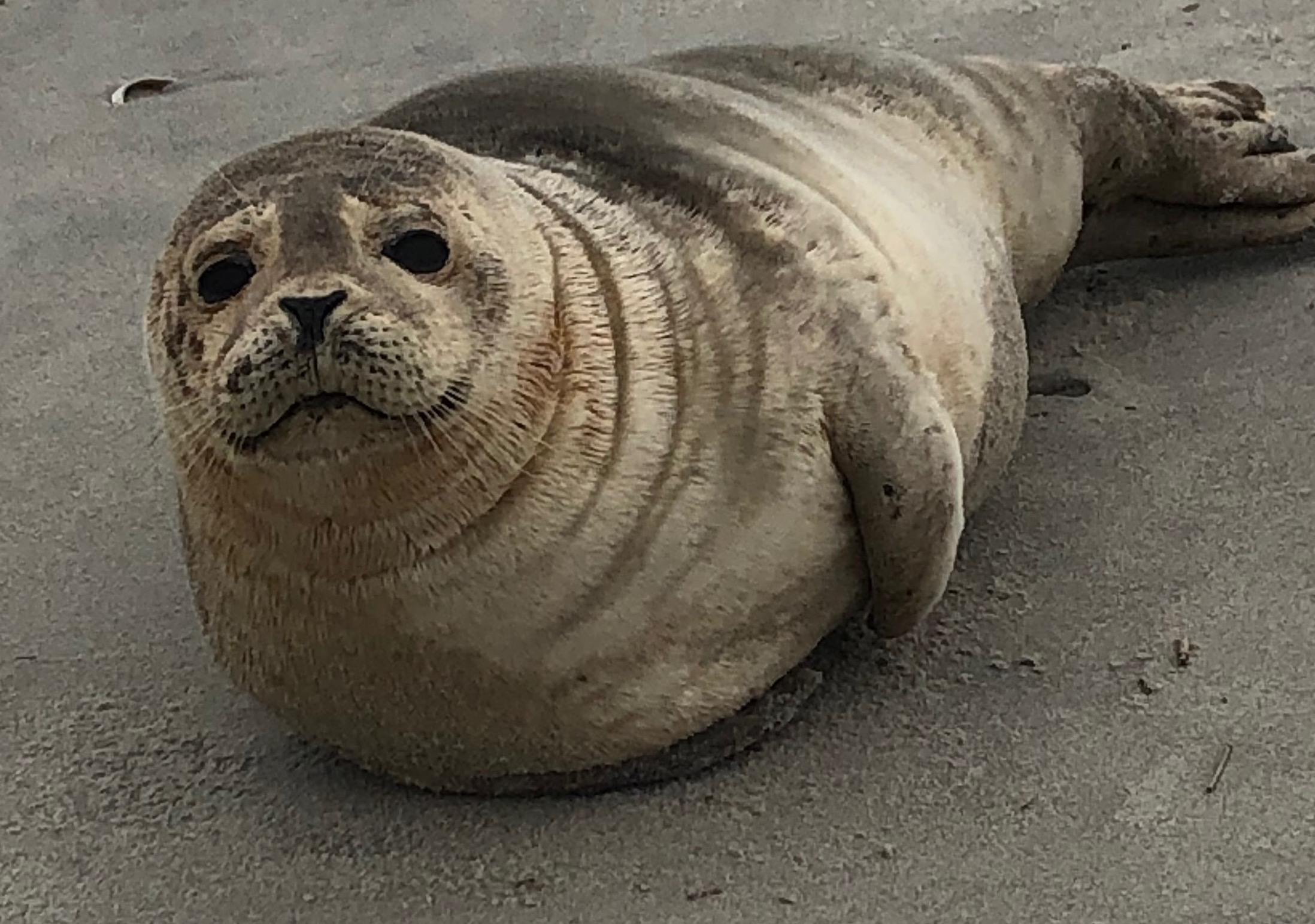 Winter brings seals to the Jersey Shore. But keep your distance. - nj.com